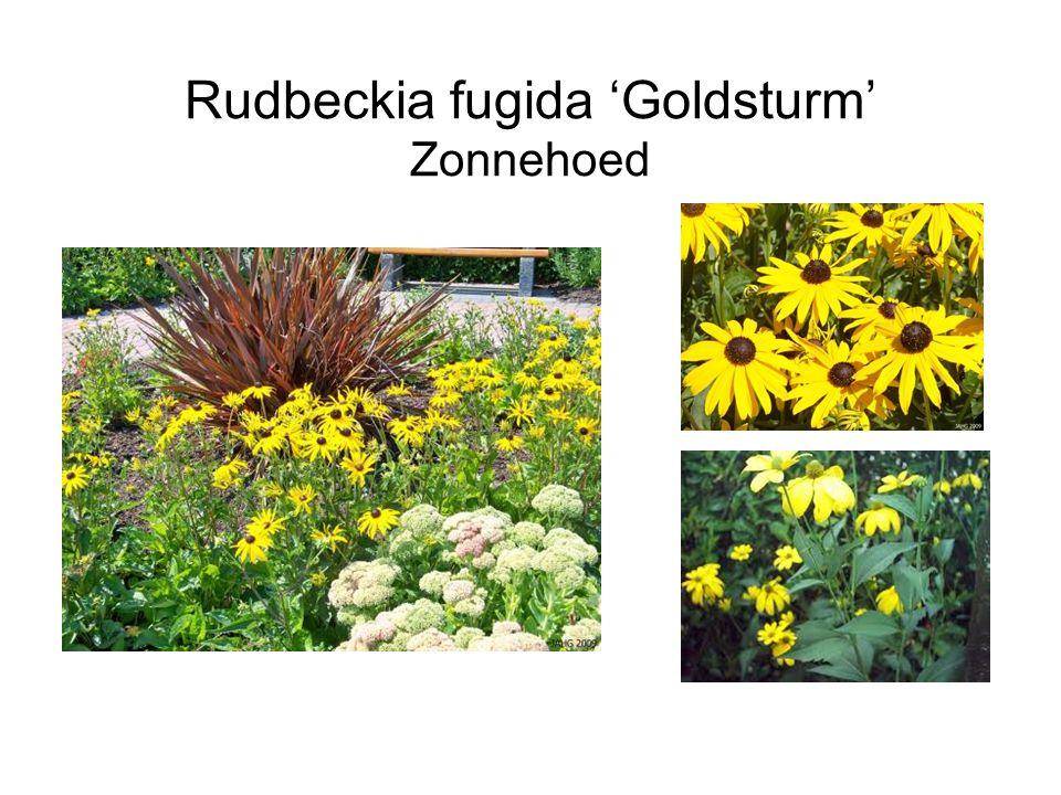 Rudbeckia fugida 'Goldsturm' Zonnehoed