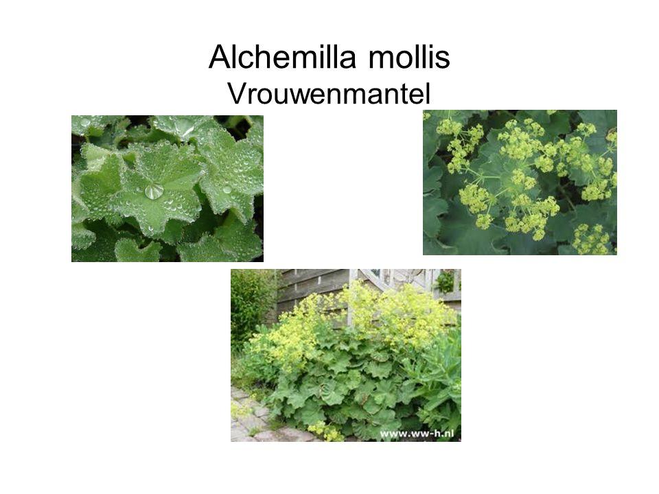 Alchemilla mollis Vrouwenmantel
