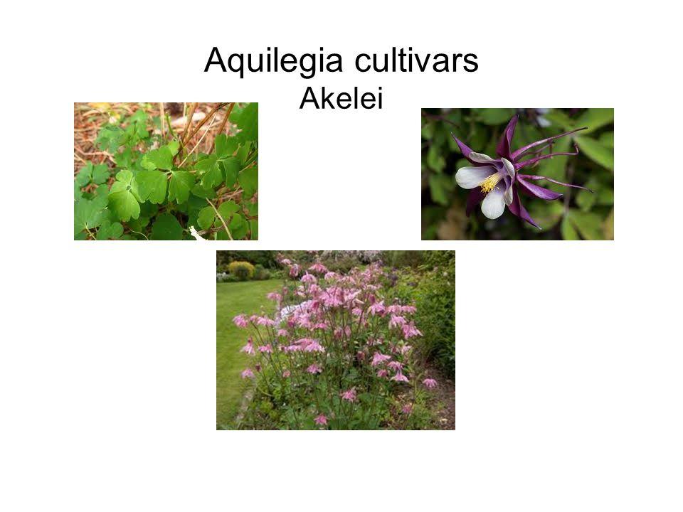 Aquilegia cultivars Akelei