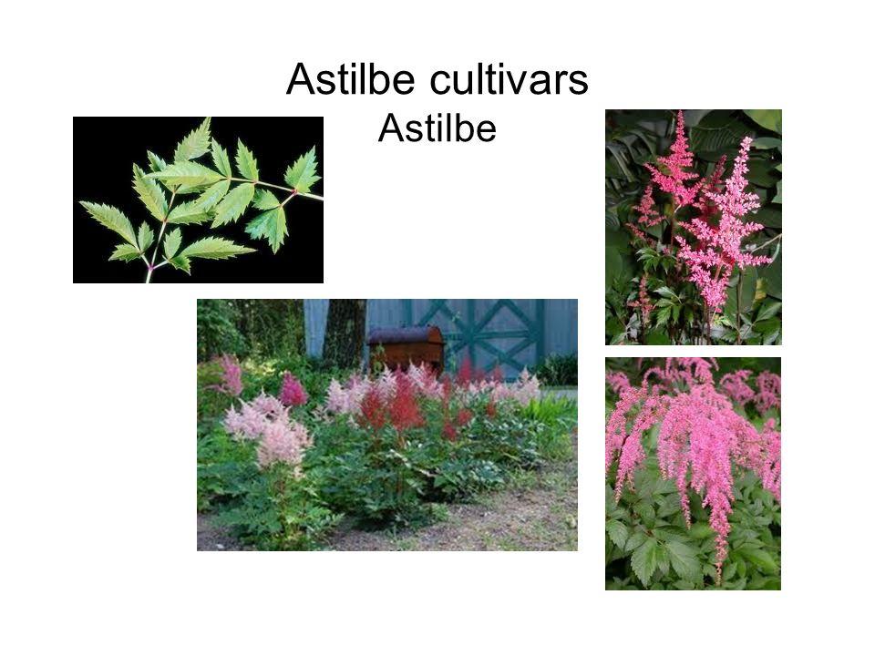 Astilbe cultivars Astilbe