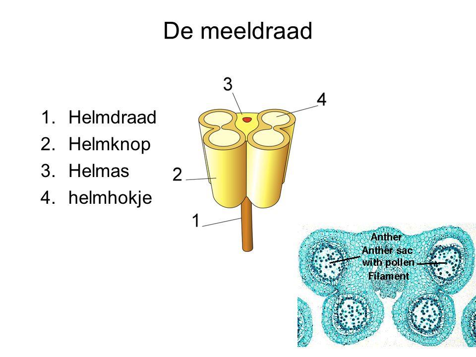 De meeldraad Helmdraad Helmknop Helmas helmhokje