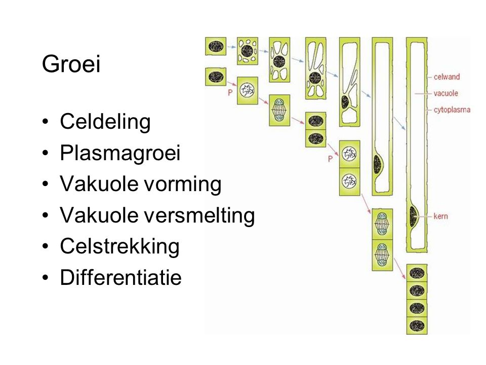 Groei Celdeling Plasmagroei Vakuole vorming Vakuole versmelting