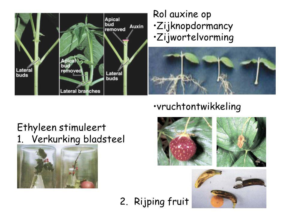 Rol auxine op Zijknopdormancy. Zijwortelvorming. vruchtontwikkeling. Ethyleen stimuleert. Verkurking bladsteel.