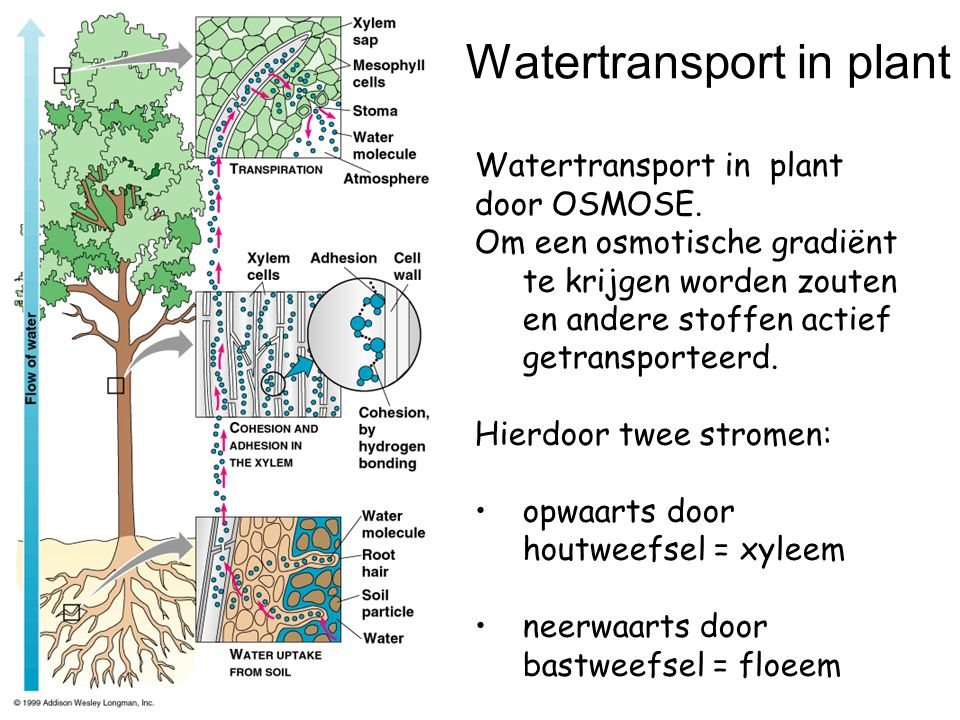 Watertransport in plant