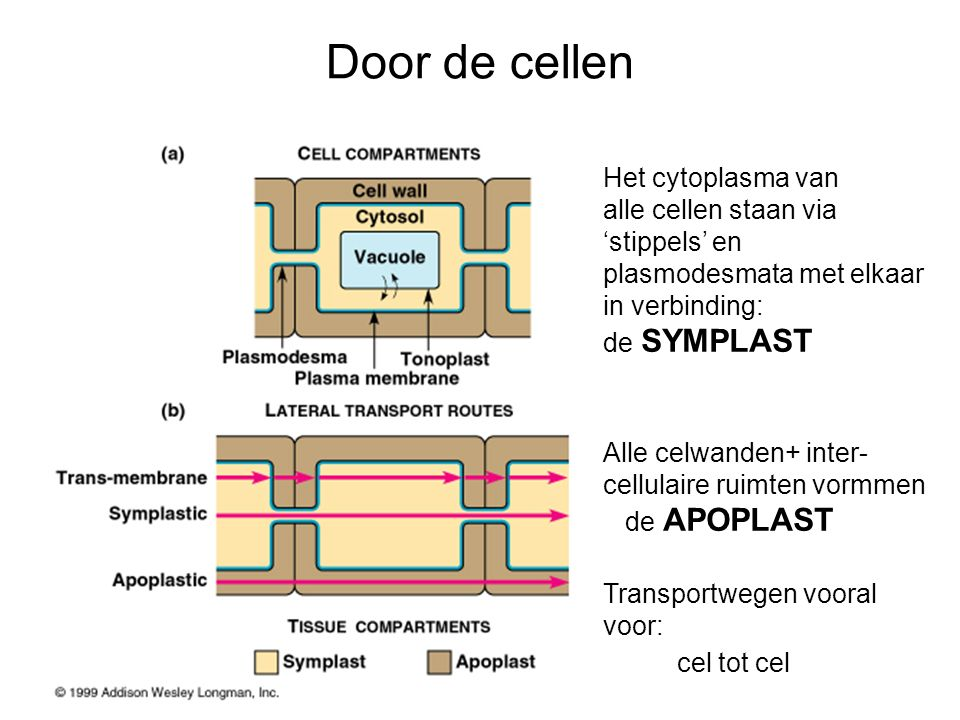 Door de cellen Het cytoplasma van alle cellen staan via