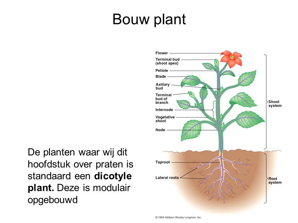 Bouw plant De planten waar wij dit hoofdstuk over praten is standaard een dicotyle plant.