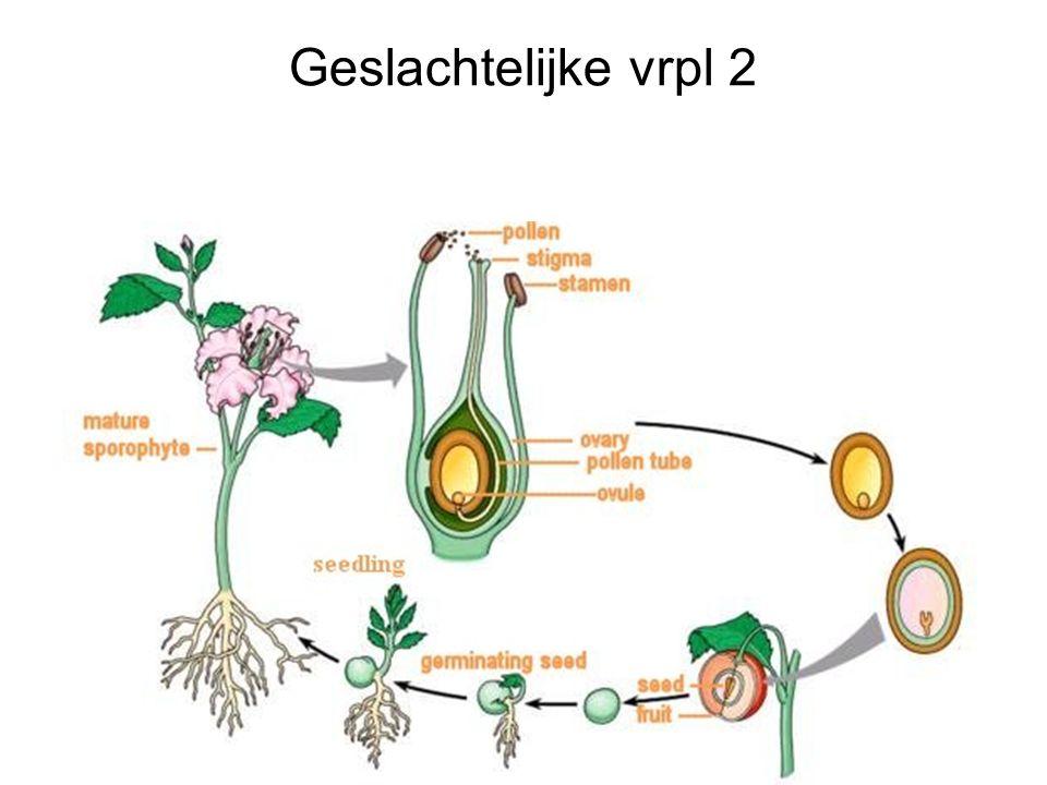 Geslachtelijke vrpl 2