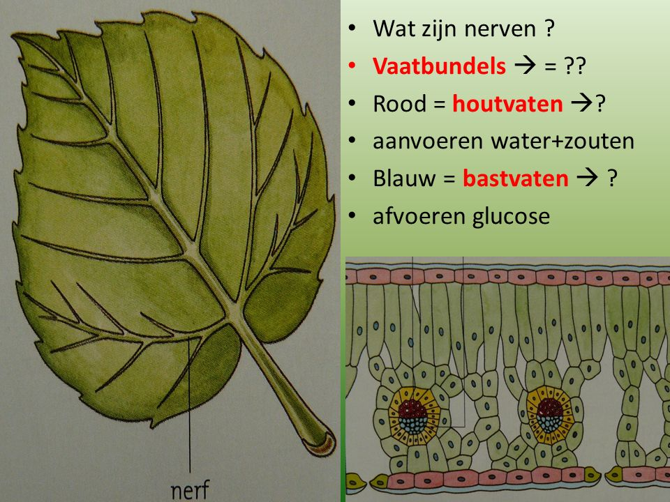 Wat zijn nerven Vaatbundels  = Rood = houtvaten  aanvoeren water+zouten. Blauw = bastvaten 