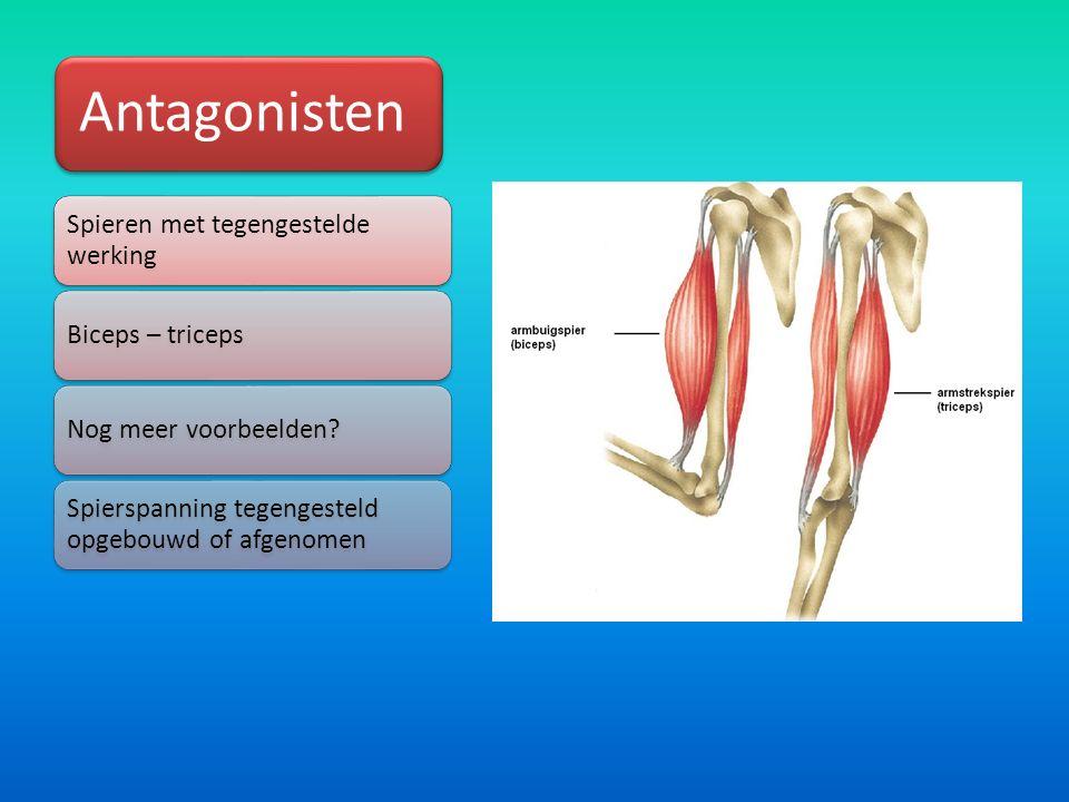 Antagonisten Spieren met tegengestelde werking Biceps – triceps