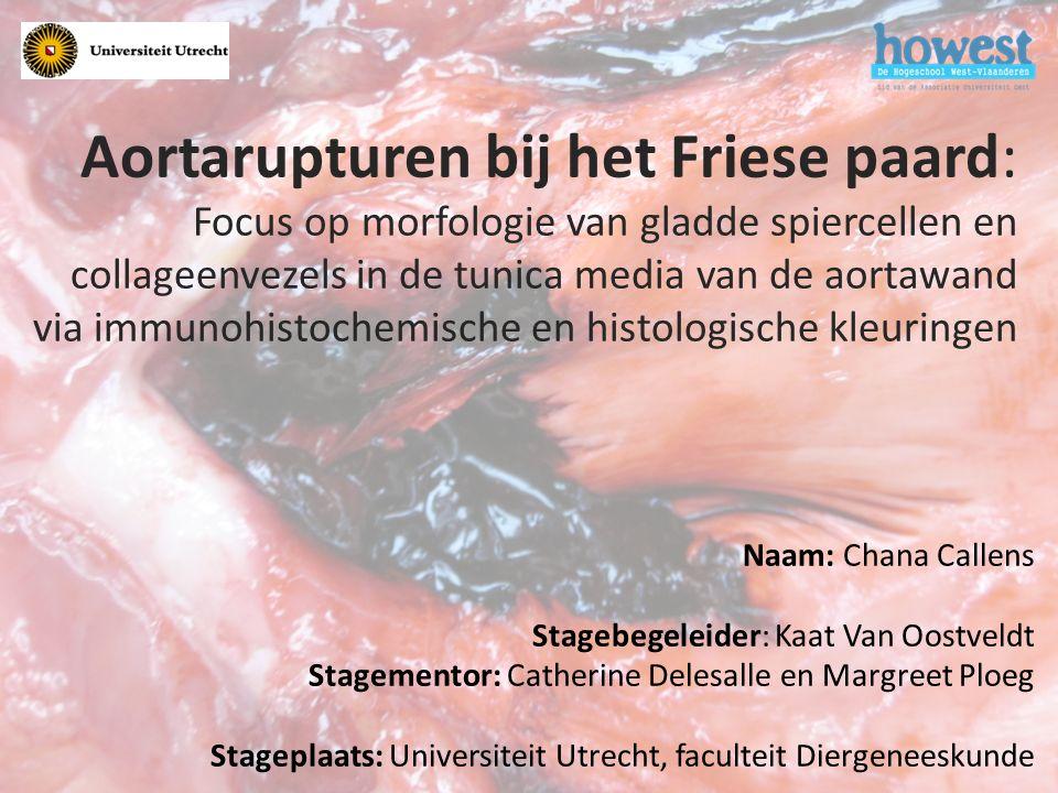 Aortarupturen bij het Friese paard: Focus op morfologie van gladde spiercellen en collageenvezels in de tunica media van de aortawand via immunohistochemische en histologische kleuringen