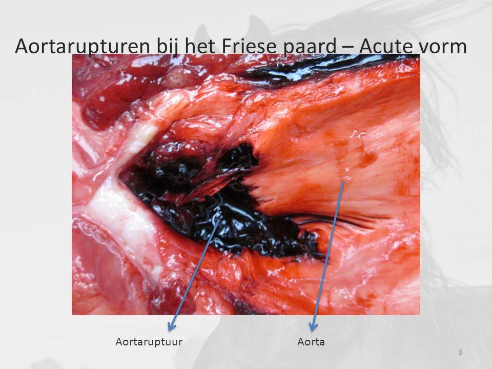Aortarupturen bij het Friese paard – Acute vorm