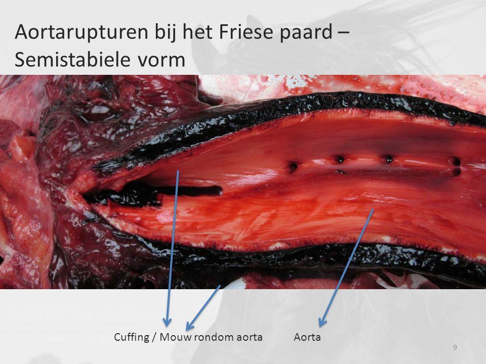 Aortarupturen bij het Friese paard – Semistabiele vorm