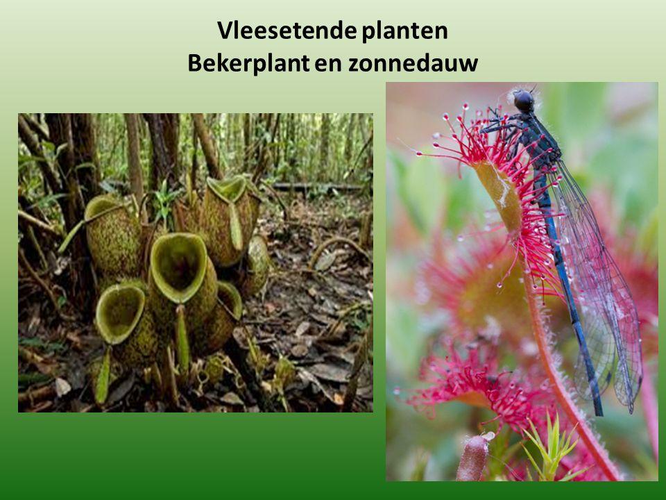 Vleesetende planten Bekerplant en zonnedauw