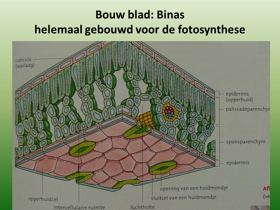 Bouw blad: Binas helemaal gebouwd voor de fotosynthese