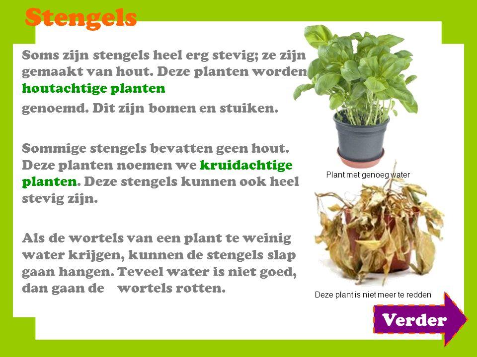 Stengels Soms zijn stengels heel erg stevig; ze zijn gemaakt van hout. Deze planten worden houtachtige planten.
