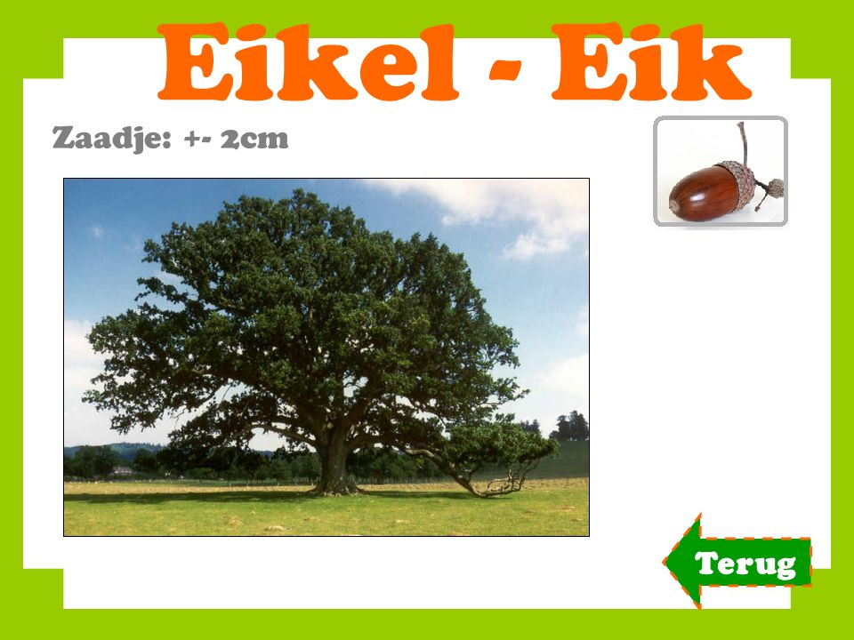 Eikel - Eik Zaadje: +- 2cm Terug