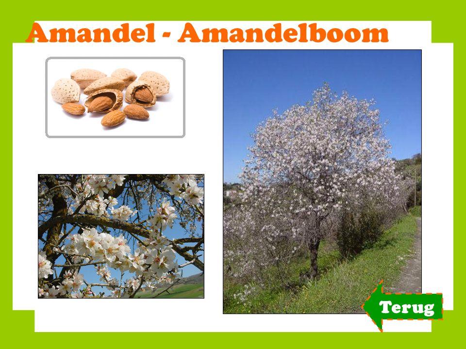 Amandel - Amandelboom Terug