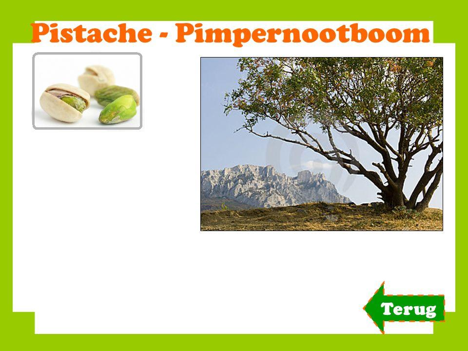 Pistache - Pimpernootboom