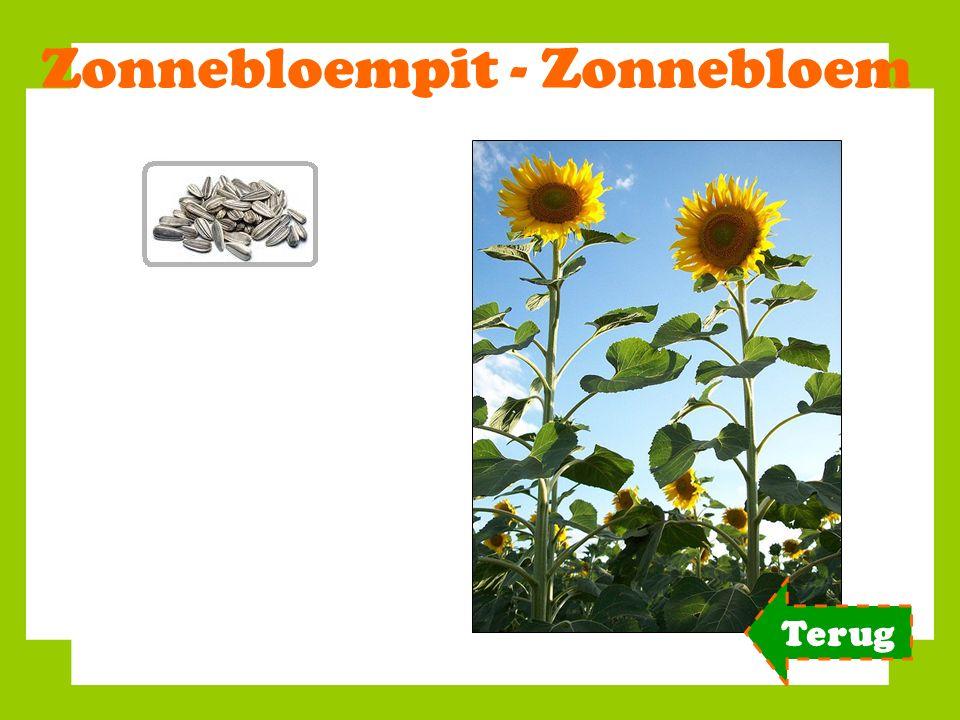 Zonnebloempit - Zonnebloem