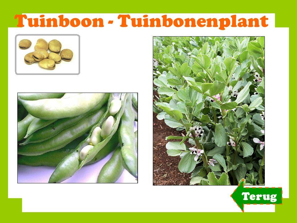 Tuinboon - Tuinbonenplant