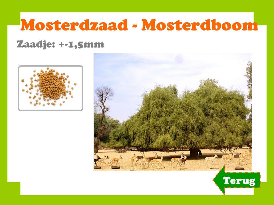 Mosterdzaad - Mosterdboom