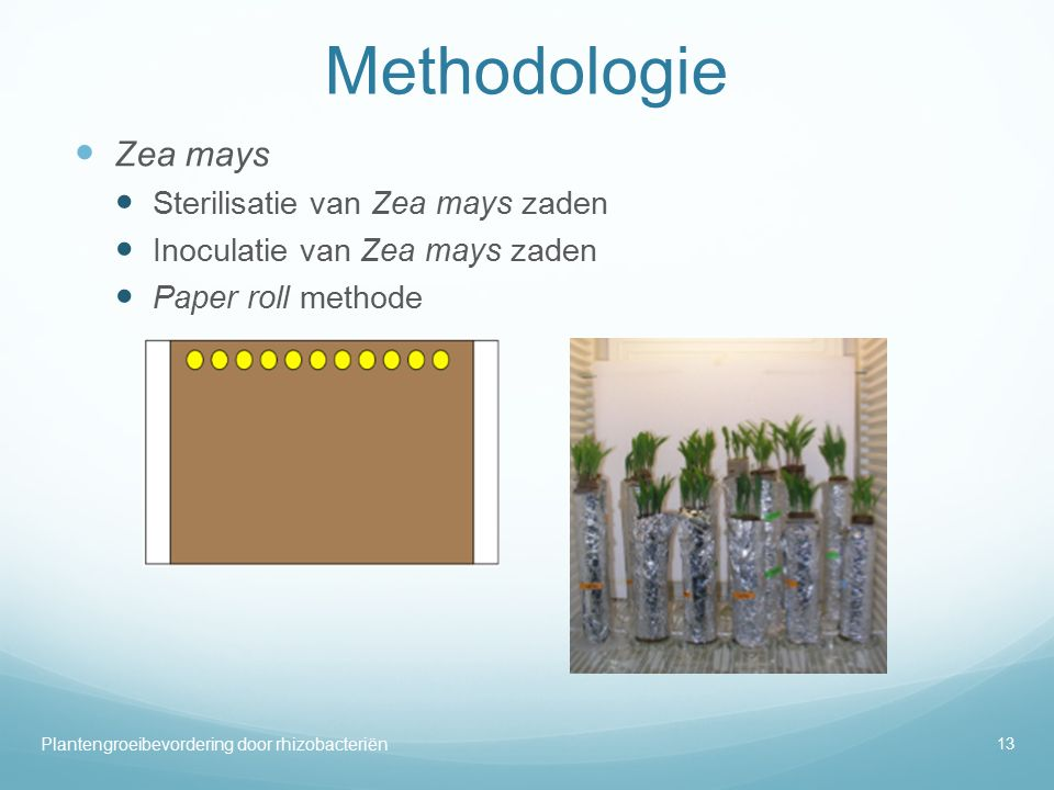Methodologie Zea mays Sterilisatie van Zea mays zaden