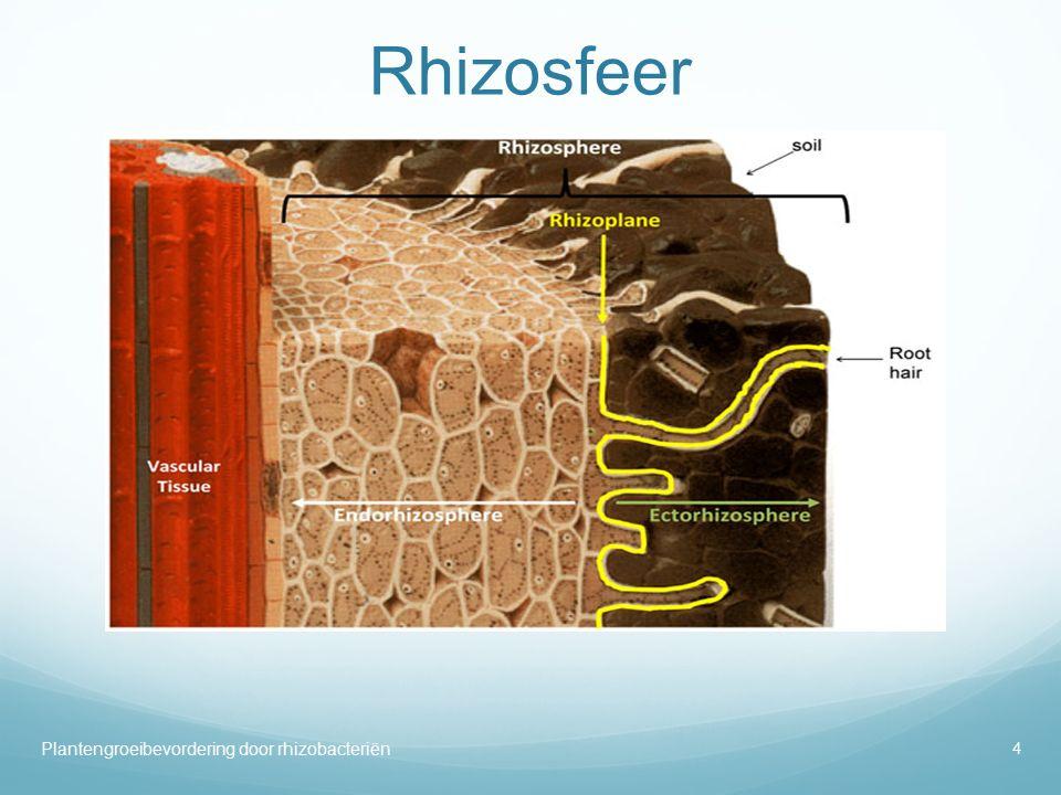 Rhizosfeer Op de figuur is de endorhizosfeer aangeduid met de witte pijl. De endorhizosfeer omvat de epidermis, de cotrex cellen en de wortelharen.