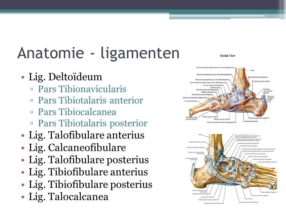 Anatomie - ligamenten Lig. Deltoïdeum Lig. Talofibulare anterius