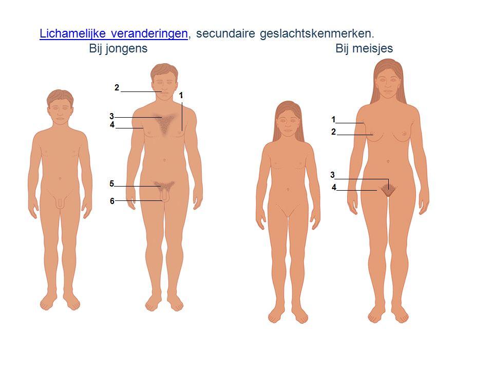 Lichamelijke veranderingen, secundaire geslachtskenmerken.