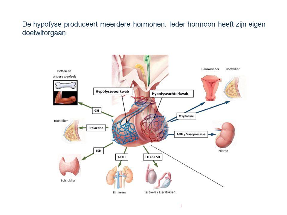 De hypofyse produceert meerdere hormonen