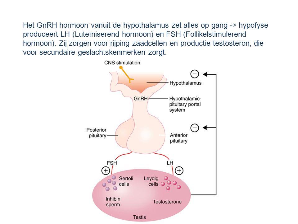 Het GnRH hormoon vanuit de hypothalamus zet alles op gang -> hypofyse produceert LH (Luteïniserend hormoon) en FSH (Follikelstimulerend hormoon). Zij zorgen voor rijping zaadcellen en productie testosteron, die voor secundaire geslachtskenmerken zorgt.