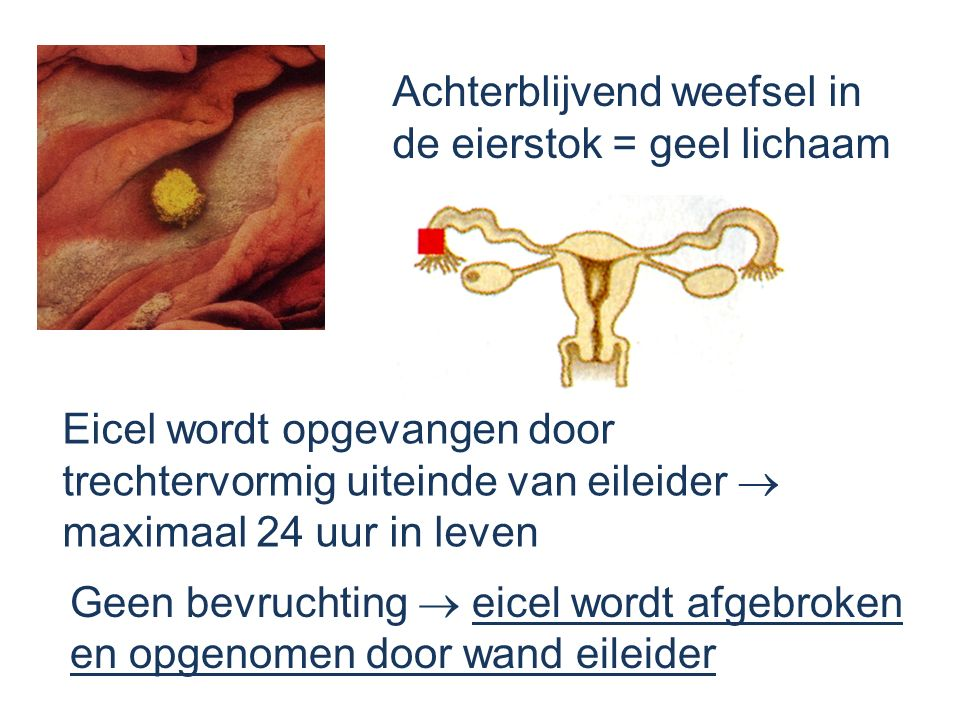 Achterblijvend weefsel in de eierstok = geel lichaam