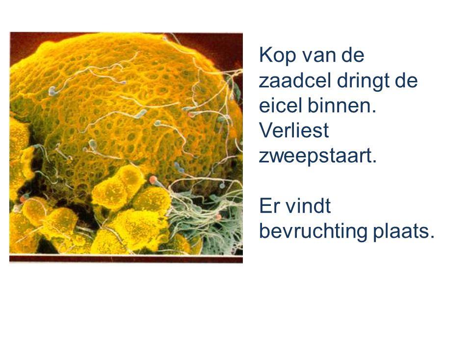 Kop van de zaadcel dringt de eicel binnen. Verliest zweepstaart.