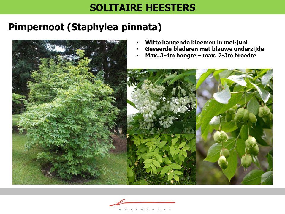 Pimpernoot (Staphylea pinnata)