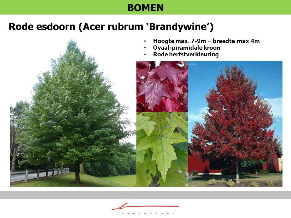 Rode esdoorn (Acer rubrum 'Brandywine')