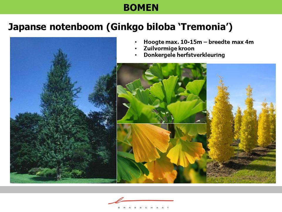 Japanse notenboom (Ginkgo biloba 'Tremonia')