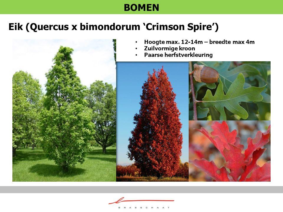 Eik (Quercus x bimondorum 'Crimson Spire')