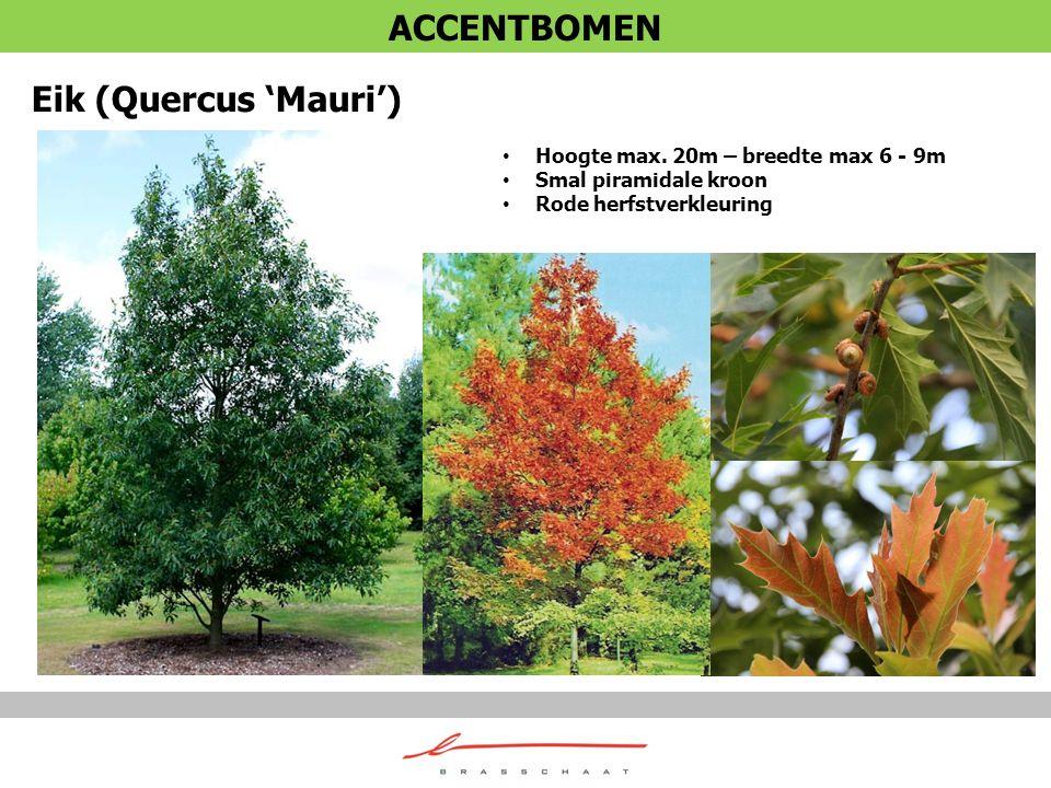 ACCENTBOMEN Eik (Quercus 'Mauri') Hoogte max. 20m – breedte max 6 - 9m