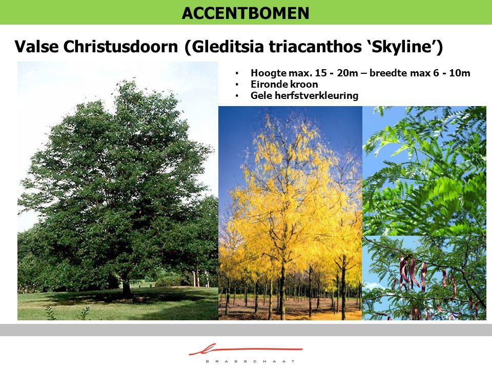 Valse Christusdoorn (Gleditsia triacanthos 'Skyline')