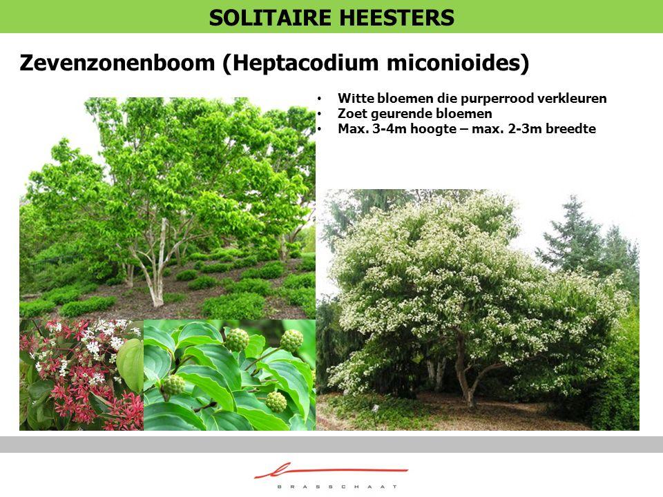 Zevenzonenboom (Heptacodium miconioides)