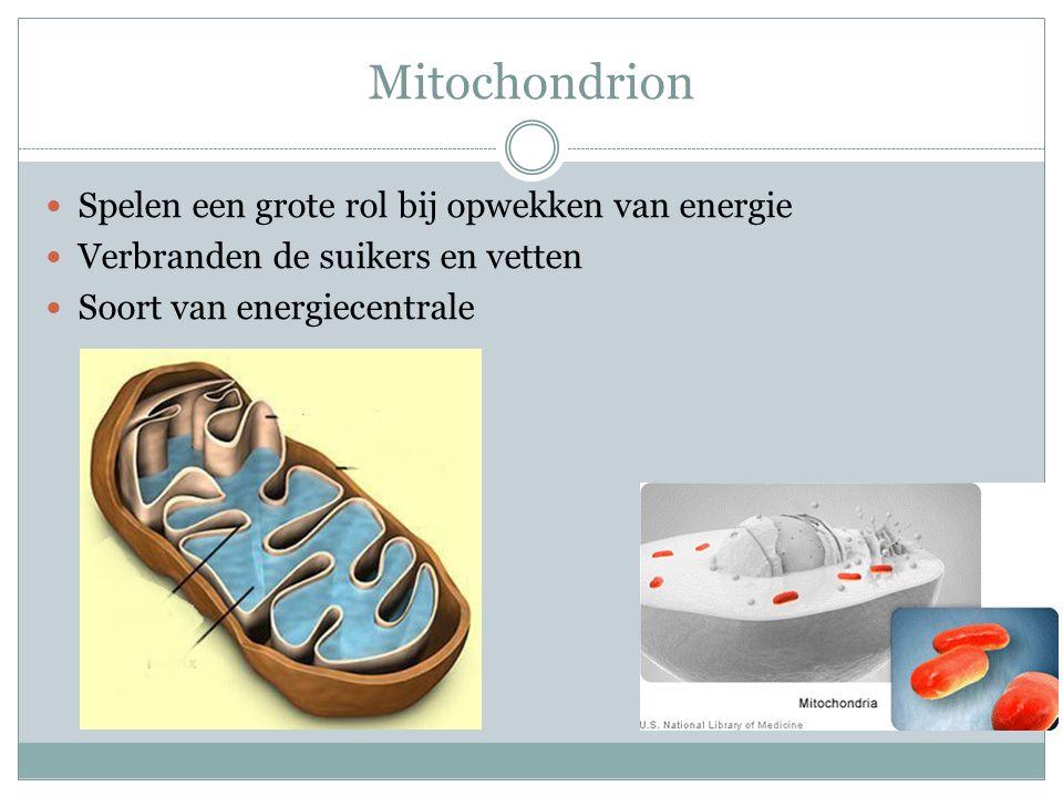 Mitochondrion Spelen een grote rol bij opwekken van energie