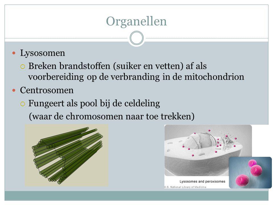 Organellen Lysosomen. Breken brandstoffen (suiker en vetten) af als voorbereiding op de verbranding in de mitochondrion.