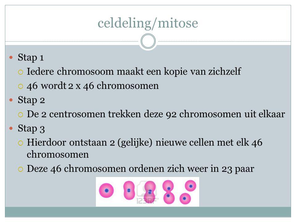 celdeling/mitose Stap 1 Iedere chromosoom maakt een kopie van zichzelf