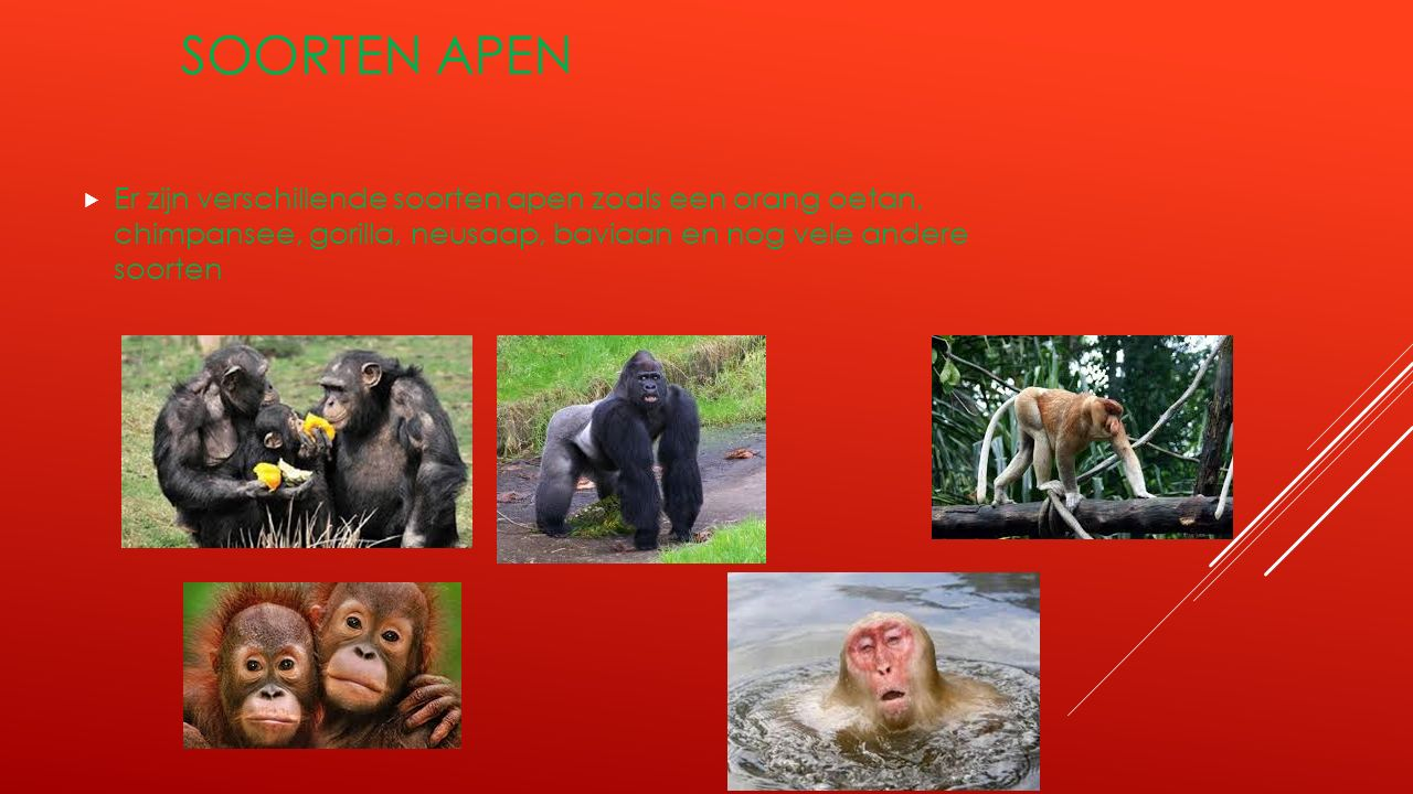 Soorten apen Er zijn verschillende soorten apen zoals een orang oetan, chimpansee, gorilla, neusaap, baviaan en nog vele andere soorten.