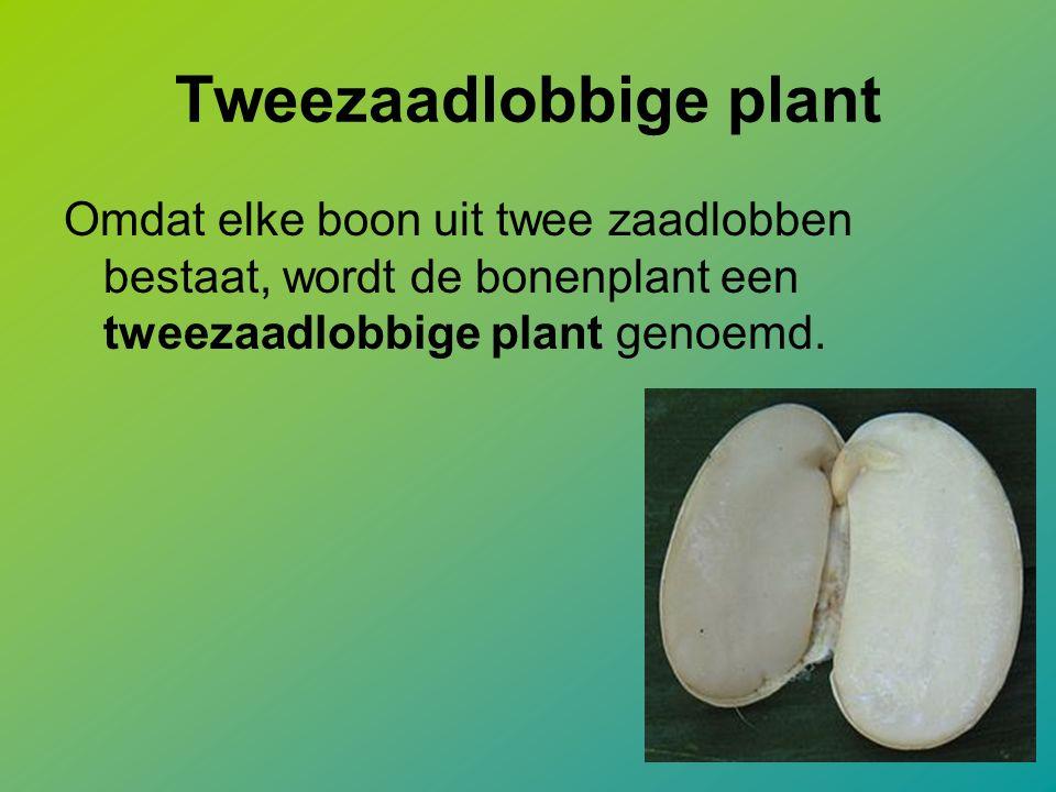 Tweezaadlobbige plant