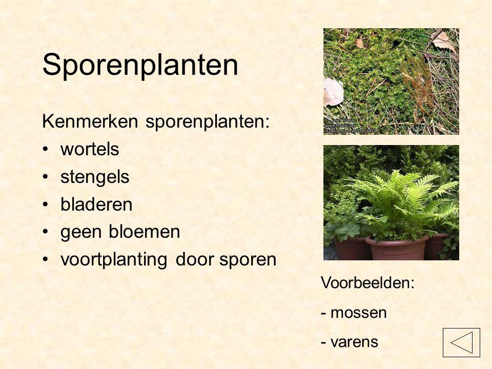 Sporenplanten Kenmerken sporenplanten: wortels stengels bladeren