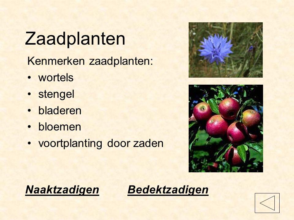 Zaadplanten Kenmerken zaadplanten: wortels stengel bladeren bloemen