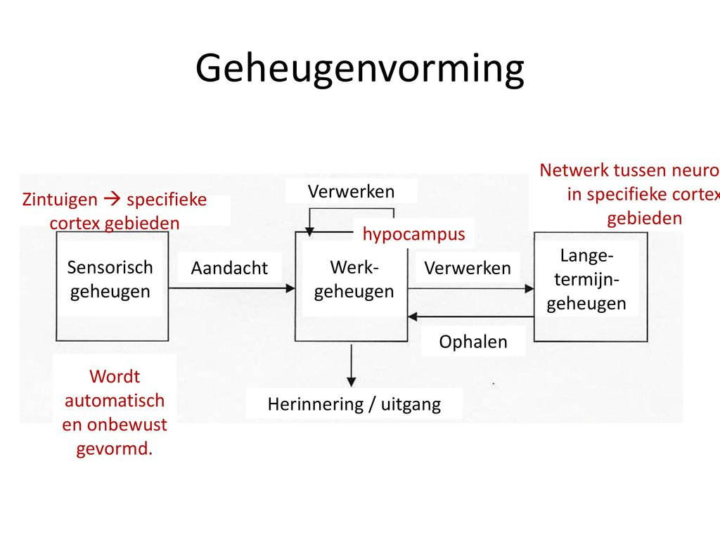 Hersenen, Leren en Geheugen - ppt video online download