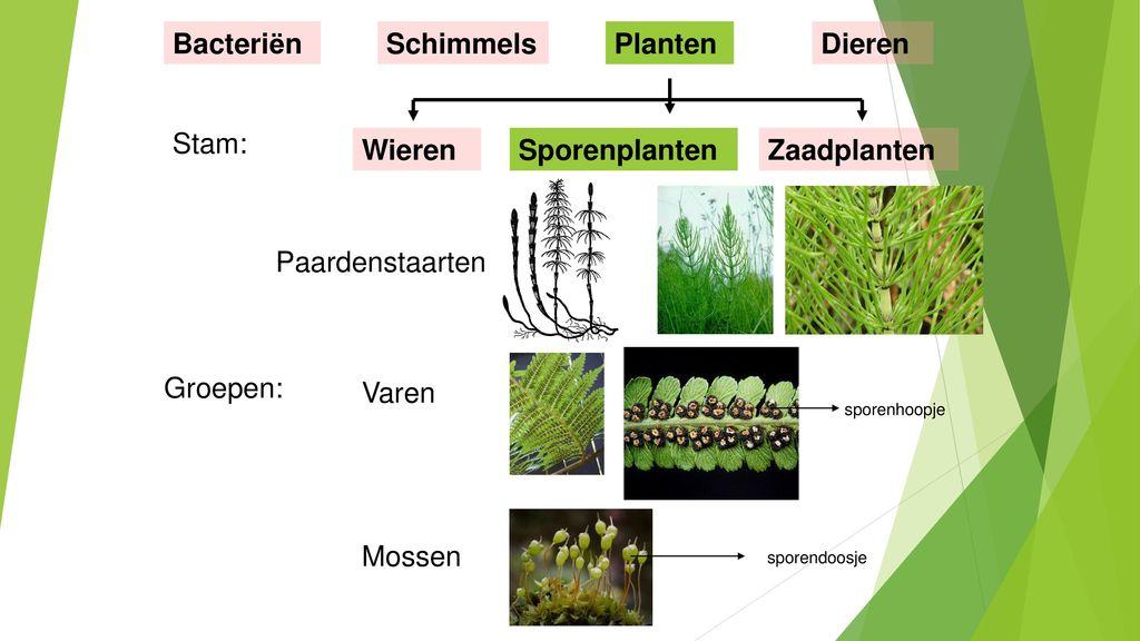Bacteriën Schimmels Planten Dieren Stam: Wieren Sporenplanten