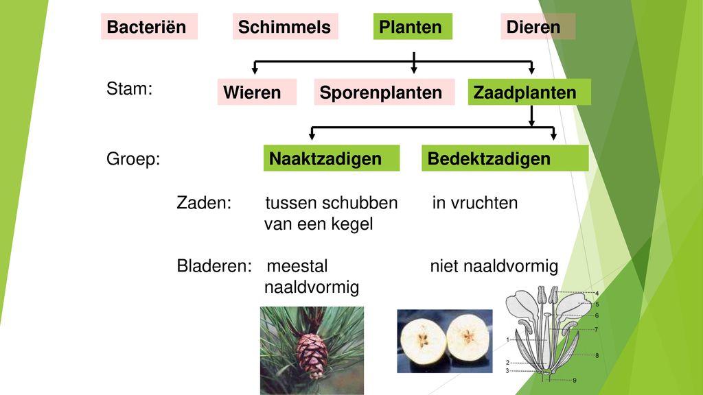 Bacteriën Schimmels. Planten. Dieren. Stam: Wieren. Sporenplanten. Zaadplanten. Groep: Naaktzadigen.